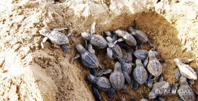 Nacimiento de tortuguitas en el Pacífico Colombiano