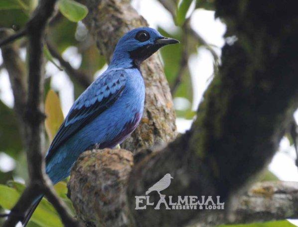 El Almejal hotel en bahia solano pacifico colombiano blue-cotinga