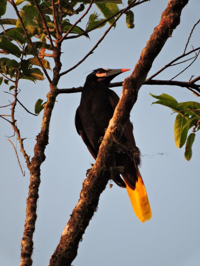 Baudó - Birdwatching en El Almejal Hotel en Bahía Solano Pacifico colombiano