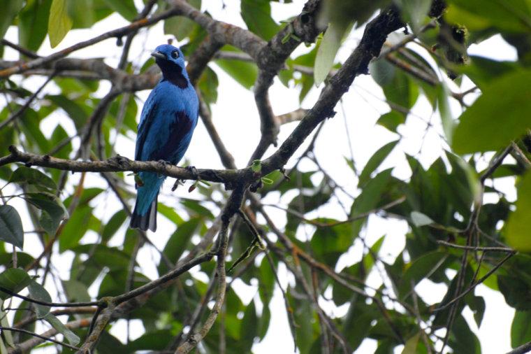 birdwatching en el almejal ecoturismo en el pacifico colombiano blue-continga