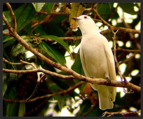 birdwatching en el almejal ecoturismo en el pacifico colombiano cotinga-blanca-_-white-cotinga