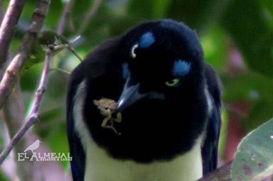 birdwatching en el almejal ecoturismo en el pacifico colombiano cyanocorax-affinis - carriqui-pechinegro black-chested-jay-_-blue-jay