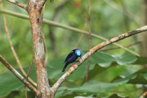 HOTEL EL ALMEJAL Birdwatching_herpetotheres-cachinans mielero-patirrojo