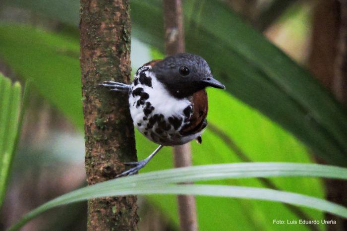 HOTEL EL ALMEJAL Birdwatching spotted-antbird-bahia-solano-feb-2015-1