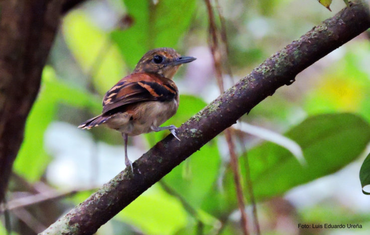 HOTEL EL ALMEJAL Birdwatching spotted-antbird-bahia-solano spotted-antbird-bahia-solano