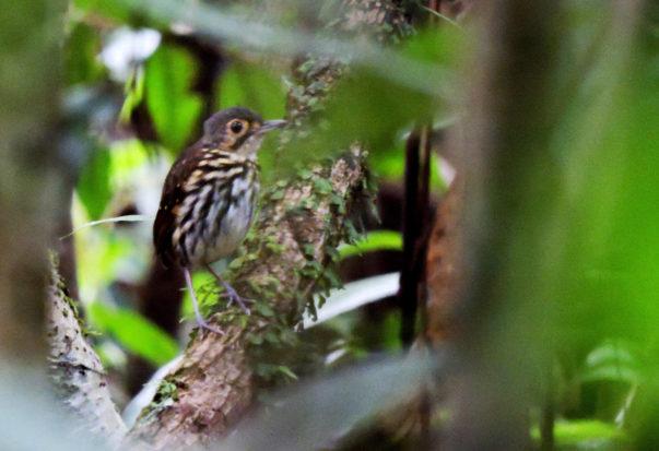 HOTEL EL ALMEJAL Birdwatching streak-chested-antpitta
