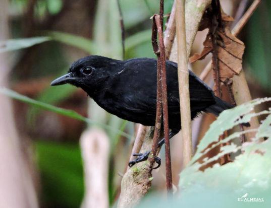 HOTEL EL ALMEJAL Birdwatching stub-tailed-antbird