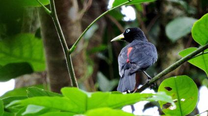 HOTEL EL ALMEJAL Birdwatching spotted-antbird-bahia-solano Cacique-bahia-solano