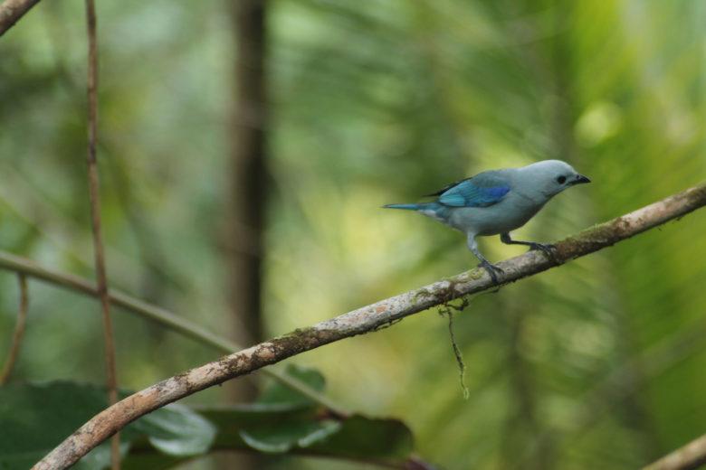 HOTEL EL ALMEJAL Birdwatching thraupis-episcopus