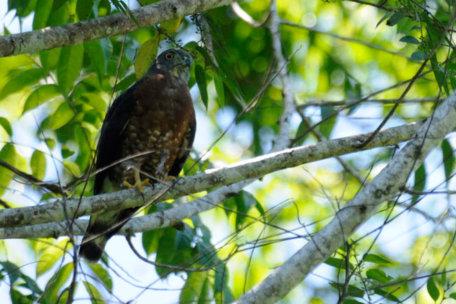 aguila-closeup - birdwatching en el almejal ecoturismo
