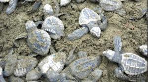 el almejal hotel en bahia solano pacifico colombiano- nacimiento de tortugas