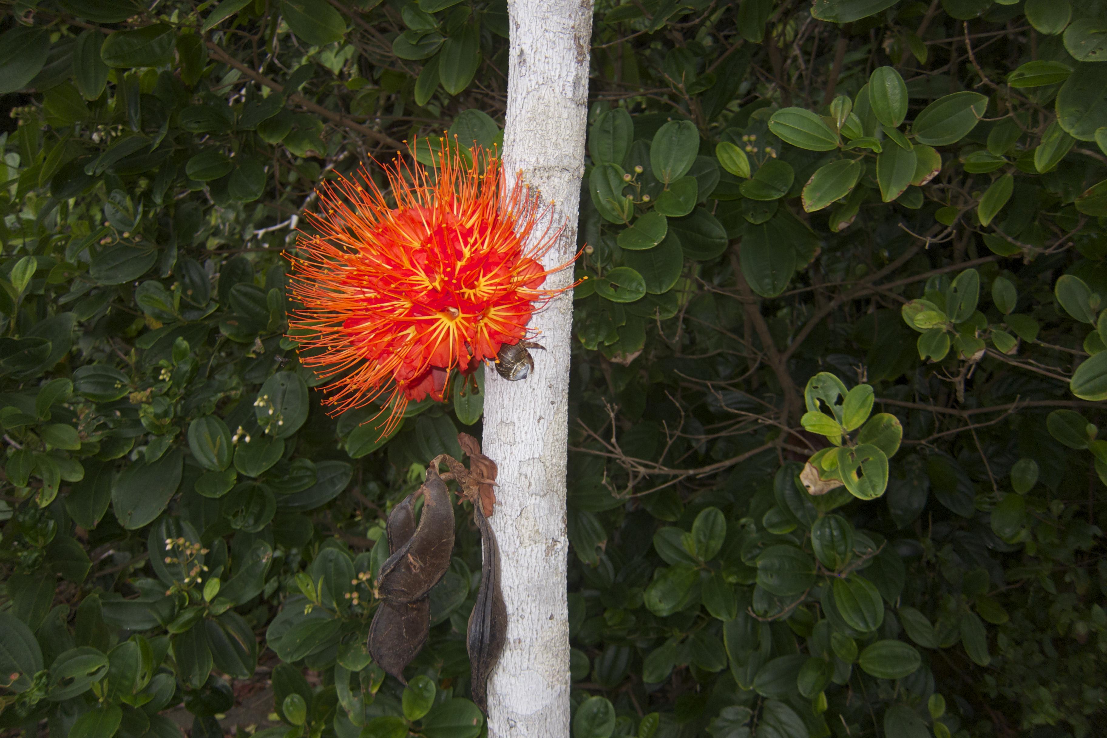 Ariza florecido. El Almejal. Hoteles en Bahía Solano