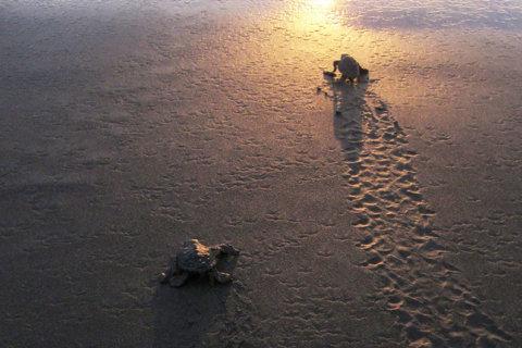 Tortuguitas al Mar - Bahía Solano